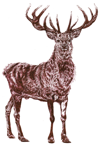 brown stag sm